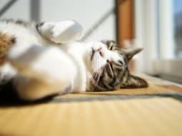 い草でくつろぐペット(猫)